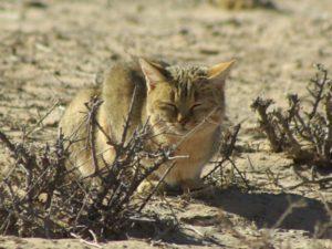 Азиатская степная кошка
