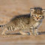 Южноафриканская степная кошка